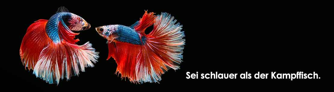 Streitschule: Sei schlauer als der Kampffisch.